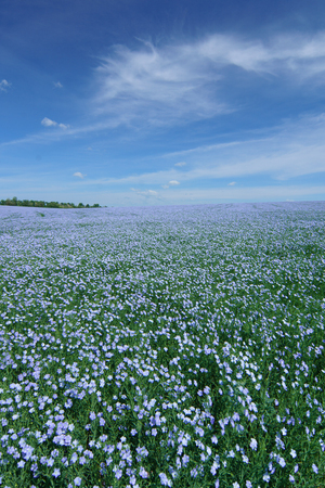 Flax flowers. Flax field, flax blooming, flax agricultural cultivation. Standard-Bild - 98313823