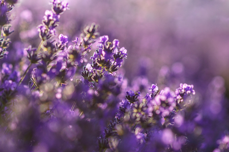 Violet lavender flowers at sunlight in a soft focus with blur background. Stock Photo