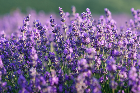 Beautiful violet lavender flowers with soft  background of lavender field.