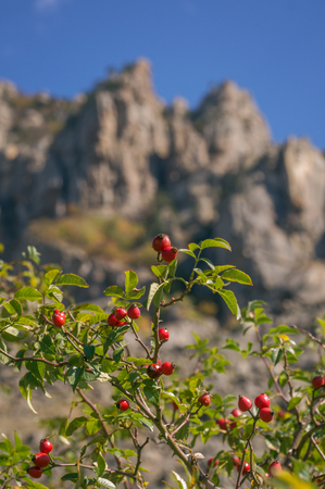 Red rose hips on a dog-rose rosa canina rosehips on mountain background.