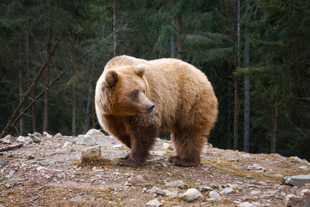 European big brown bear in a edge of mountains coniferous forest. Stok Fotoğraf