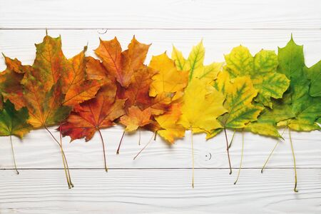 Autumn leafs colorful rainbow color gradient composition on white wood.