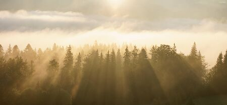 Panorama of pine forest in morning mist fog with sun rays through.