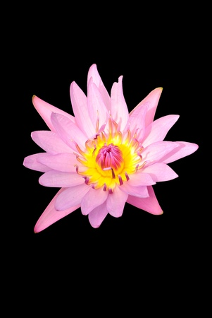 the lotus is pink