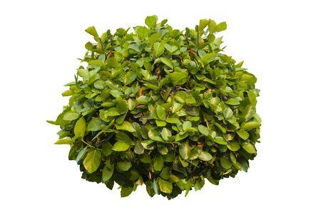 Buisson vert isolé sur fond blanc. Banque d'images