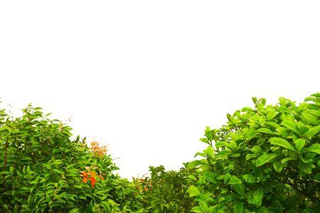 Buisson vert isolé sur fond blanc.
