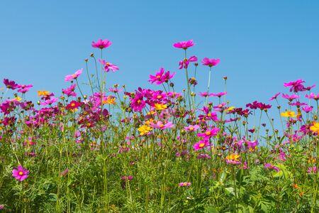 Cosmos flower field. Flower field in summer