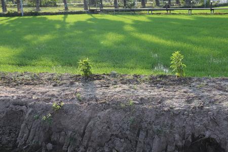 Green wide rice field with an earthen dyke (farm dike) Stockfoto