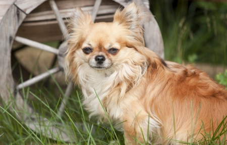 Chihuahua Stock Photo - 15484241