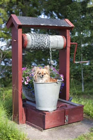 Chihuahua in a bucket