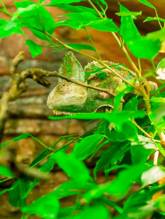 Chameleon Stock Photo