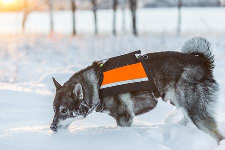 swedish: Swedish Elkhound in winter landscape