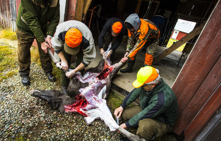 Hunters are slaughtering a moose Stock Photo