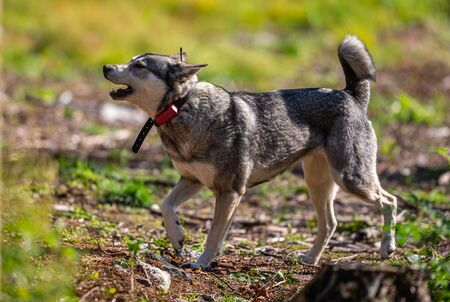 Hunting dog aka Elkhound or Moosehound - hunting in the wilderness