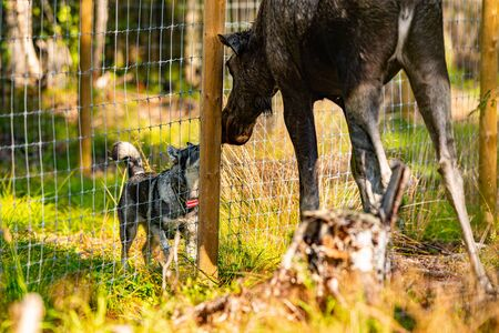 Hunting dog training in a moose hunting outdoor facility