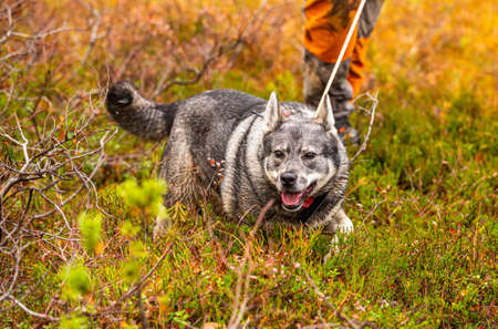 Elkhound outdoor during the hunting season