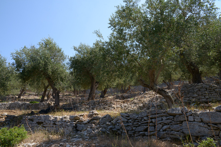 The olive field