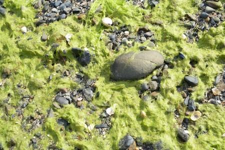 Green algae on a Breton beach Reklamní fotografie