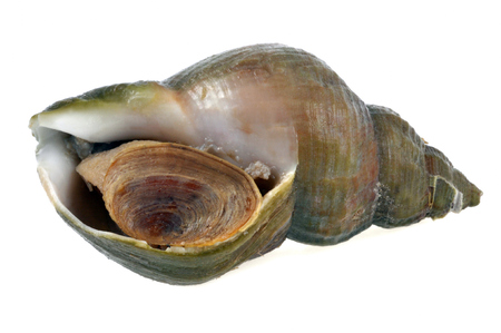 The whelk