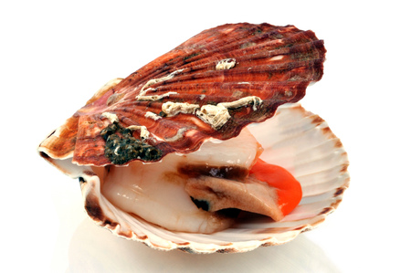 Open scallop shell