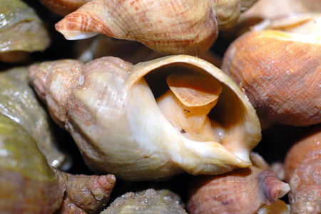 Fresh whelks