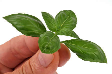 Basil leaves in hand 写真素材