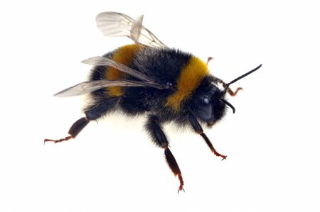 Bumblebee in closeup on white background