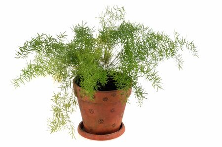 Asparagus in a flowerpot on a white background