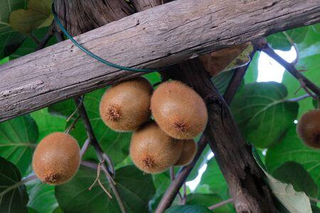Ripe kiwis in a tree
