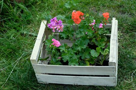 Geranium wooden crate placed on the grass