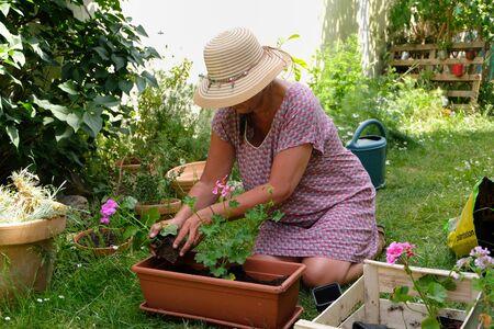 Woman potting geranium plants