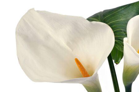 Ethiopian arum close-up on white background