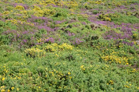 Heather and broom in the moors in the C?tes-d'Armor in Brittany Stock Photo