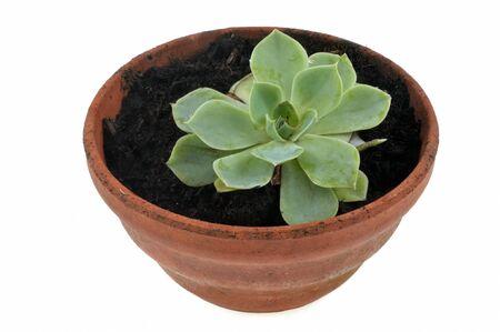 Echeveria secunda in a flowerpot close-up on a white background