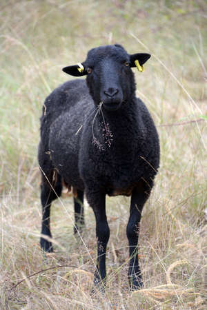 Black sheep in a field close up Stockfoto