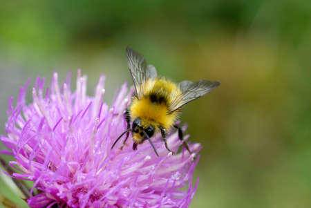 Bumblebee foraging on a flower close-up Stockfoto