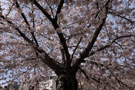 Under a blossoming Japanese cherry tree Stock Photo