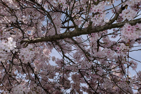 In a blossoming Japanese cherry tree