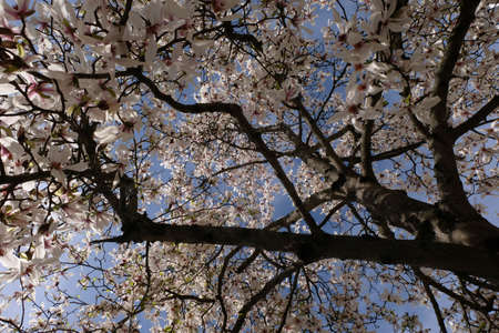 Under a magnolia blossoms in spring