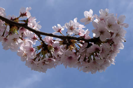 Japanese cherry blossoms close up Stock Photo