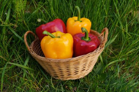Yellow and red peppers in a wicker basket lying on the grass