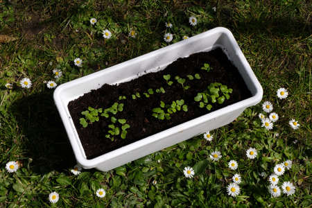Radish seedlings in a plastic tray lying on the grass Imagens