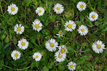 Spring daisies in the grass close-up
