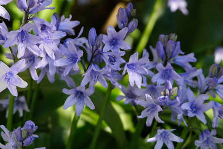 Bluebells in spring close up