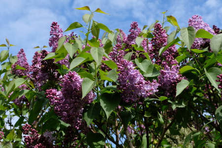Close-up purple lilac flowers in spring Imagens
