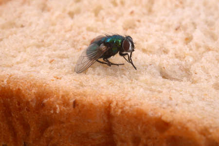 Fly close-up on sandwich bread