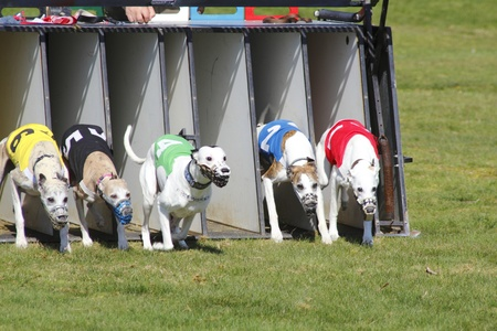 Greyhounds bolt out of the starting gate.