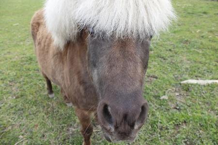 shetland pony: Close Up of a Shetland Pony
