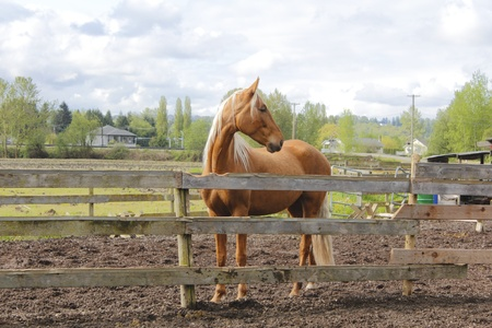 Beautiful Chestnut Coloured Horse photo
