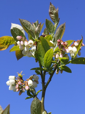 Blueberry Blossom against a Blue Sky Stock Photo